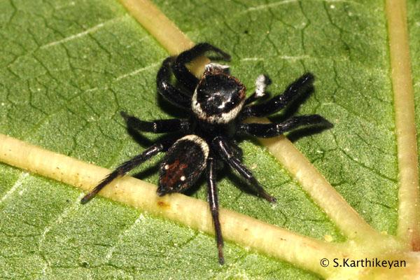 Jumping Spider Hasarius sp.