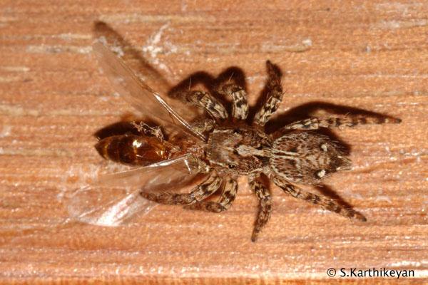 Jumping Spider feeding Plexippus paykulli