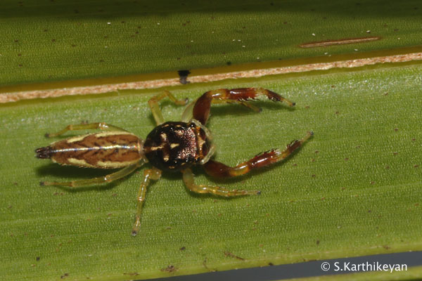 Jumping Spider (Scorpion Jumper) Bavia kairali