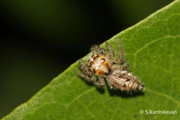 Jumping Spider Hyllus semicupreus