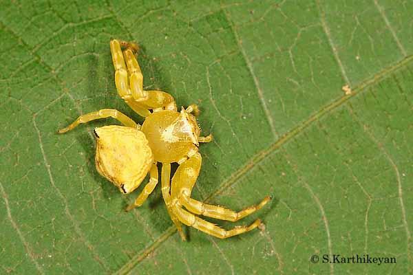 Crab Spider Thomisus sp.