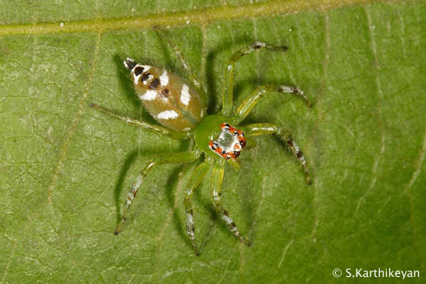 Jumping Spider Epeus sp.