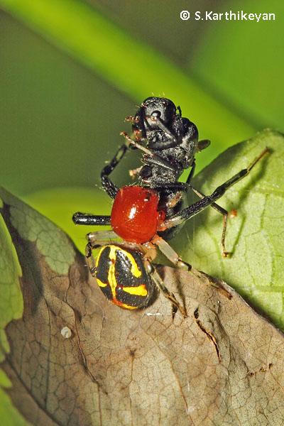 Crab Spider Camaricus sp. with ant