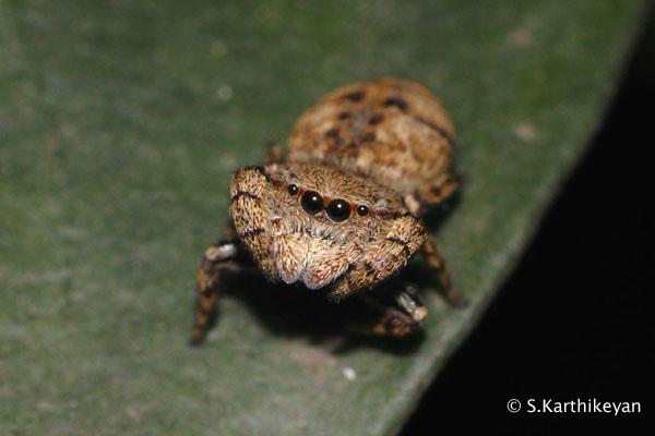Jumping Spider Rhene sp.