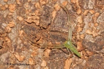 Crab Spider Oxytate sp.