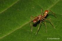 Ant-mimic spider Myrmarachne sp.