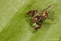 Jumping Spider Brettus albolimbatus