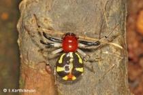 Crab Spider Camaricus sp.