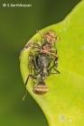 Crab Spider Xysticus sp.