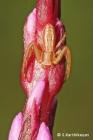Crab Spider Runcinia sp.