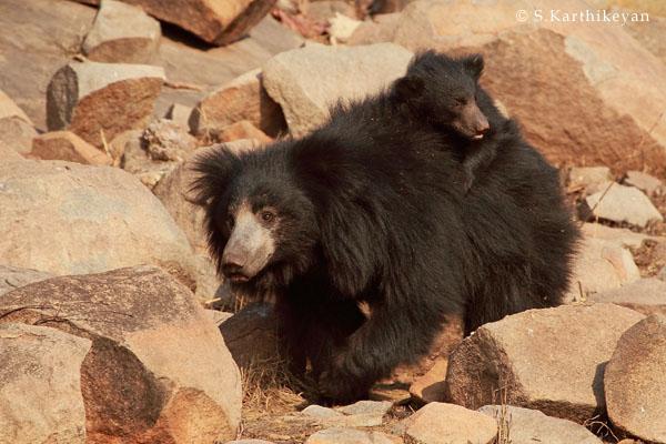 Sloth Bear with cub