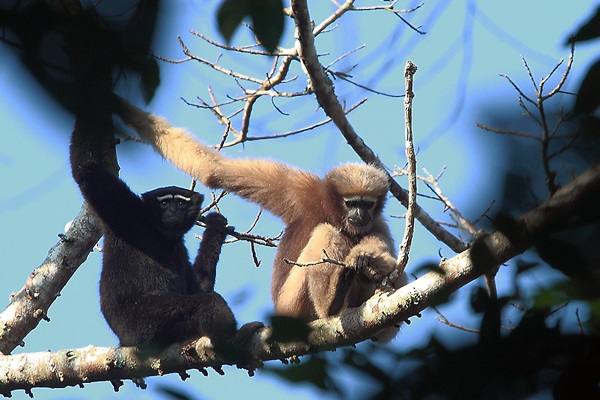 Hoolock Gibbons (male and female)