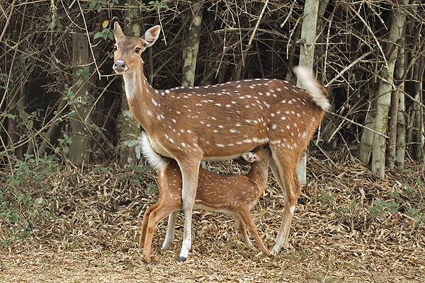 Spotted Deer suckling