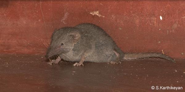 grey-musk-shrew1.jpg