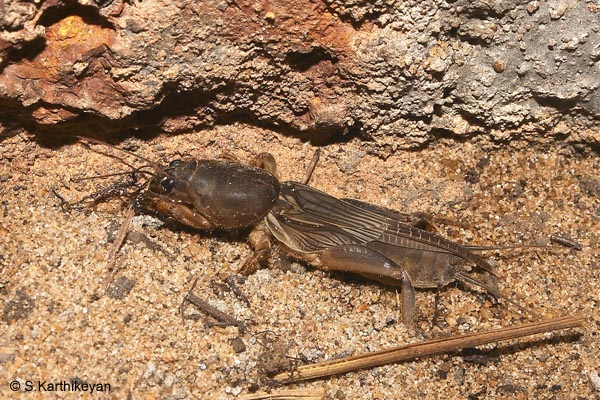 mole-cricket.jpg