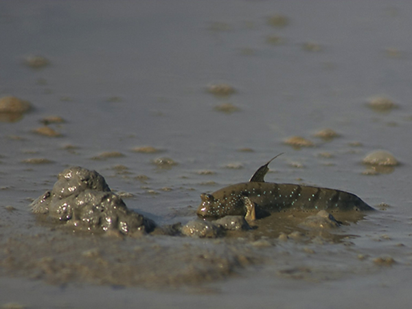 mudskipper1.jpg
