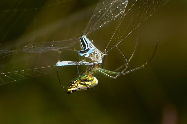 spider-feeding-on-damselfly1.jpg