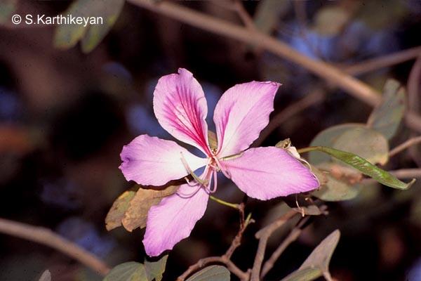 Bauhinia Variegata Purpurea