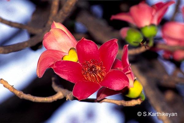 Flowering trees i karthiks journal bombax malabaricum mightylinksfo