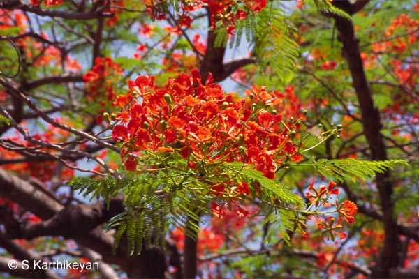 Flowering Trees – I – Karthik's Journal