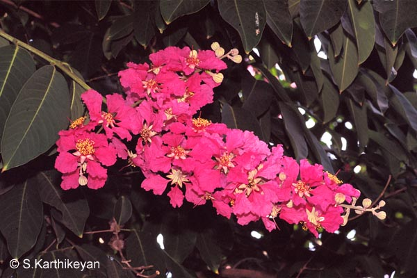 Flowering Trees I Karthiks Journal
