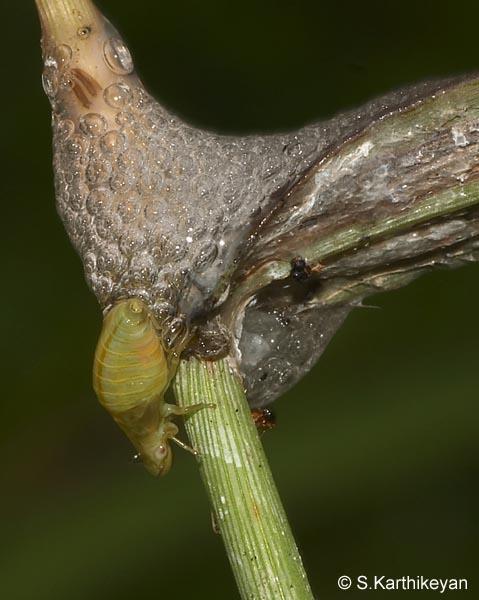 froghopper-larva.jpg