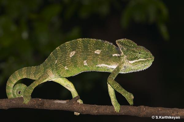 crw_8923-chameleon.jpg