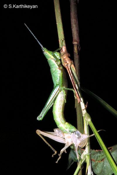 grasshopper-molting0032.jpg