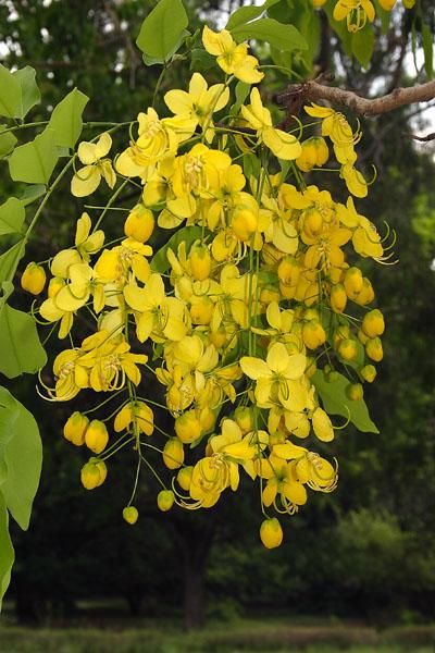 Flowering trees ii karthiks journal common name indian laburnum or golden shower origin india burma and sri lanka flowering season february to march vernacular name kakke mara mightylinksfo