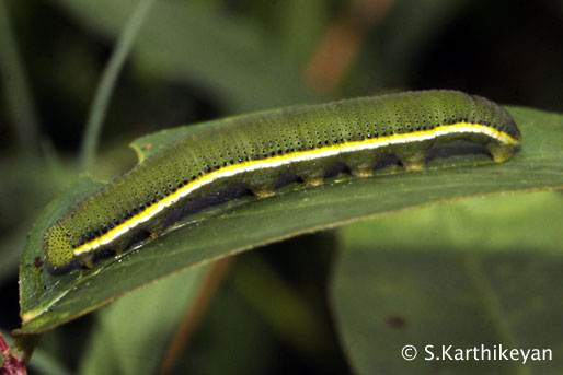 emigrant-larva.JPG