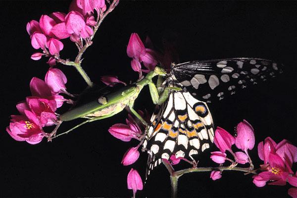 mantis-eating-butterfly-1.jpg
