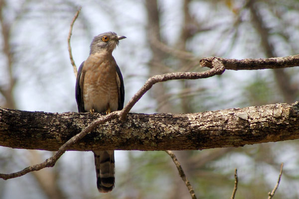 common_hawk_cuckoo_crw_6788.JPG