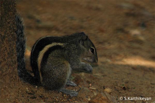 3-striped-palm-squirrel-crw_2388.JPG