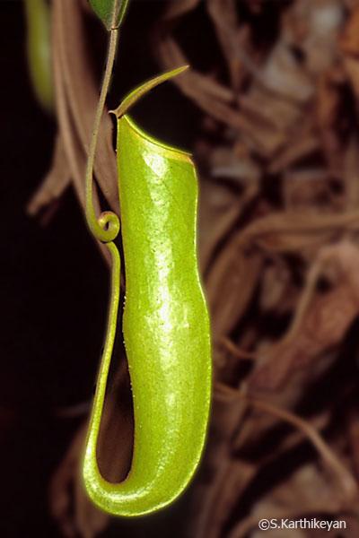 nepenthes-khasiana.jpg
