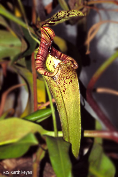 nepenthes-sps.jpg