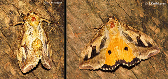 moth-threat-display.jpg