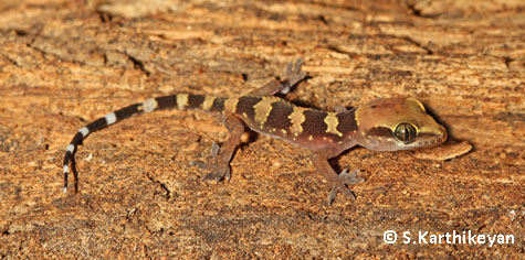 Young Termite Hill Gecko
