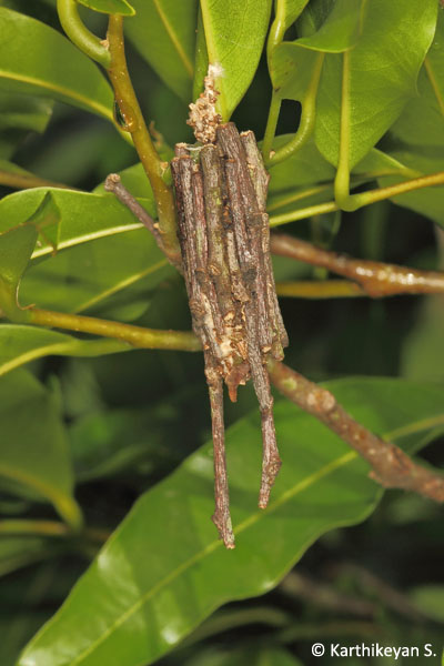 Twigs are used to make this 'bag'. This is also a fairly common sight in places with some shrubbery.