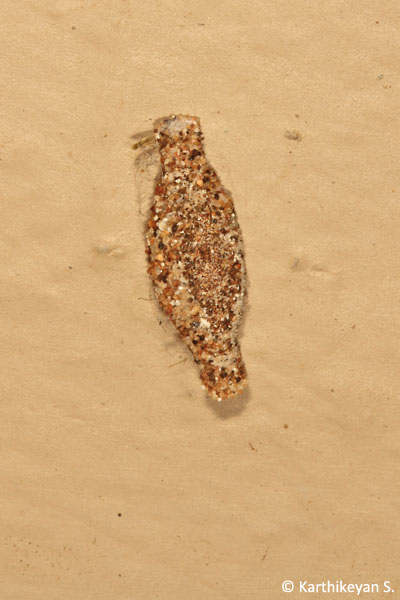 One of more commonly seen bagworms - seen on the walls both inside and outside of homes.