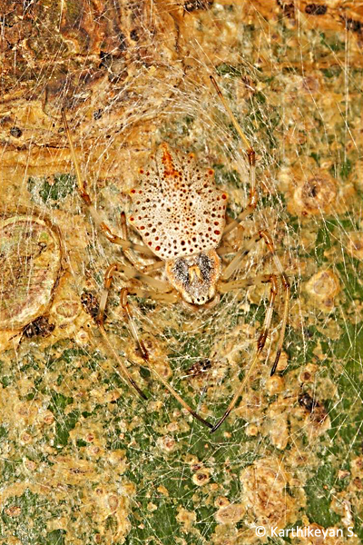 Ornate Tree-trunk Spider