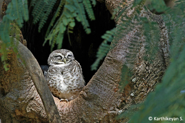 Spotted Owlet roosting in a tree hollow.
