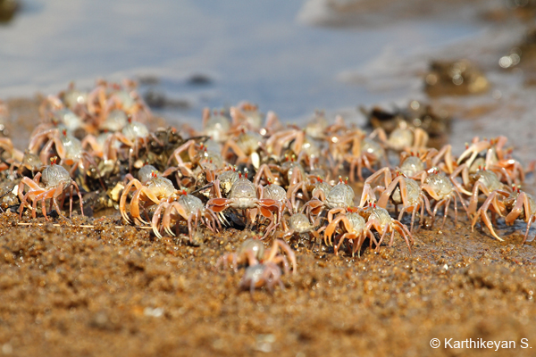 A section of a large army of Soldier Crabs.