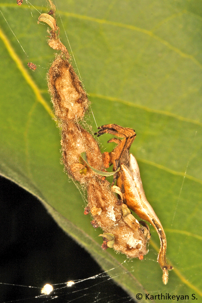 This Scorpion Spider Arachnura sp. chooses to string multiple egg cases to its web.