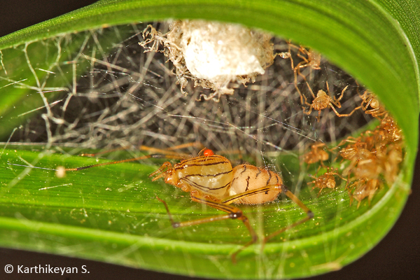 A Spitting Spider Scytodes pallida with egg case and young ones all enclosed within a leafy retreat.