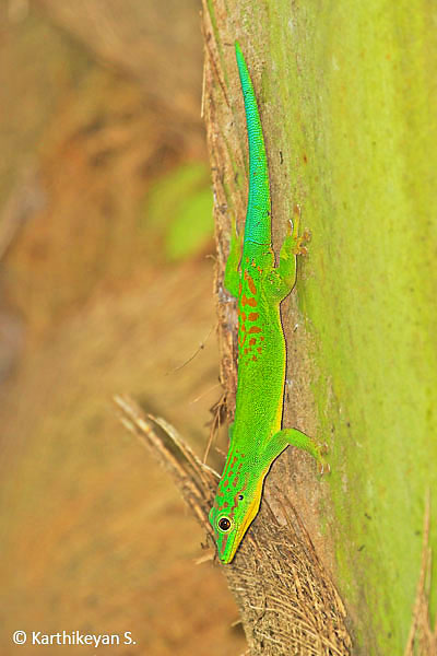 The Andaman Day Gecko on a coconut tree