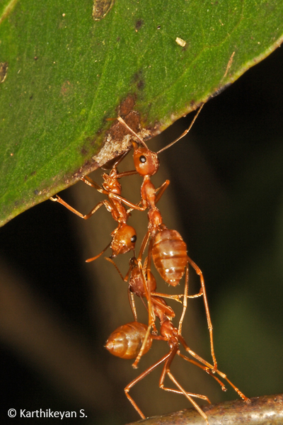 Ants forming chains.