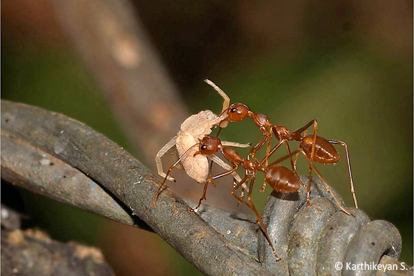 Weaver Ants and team work.