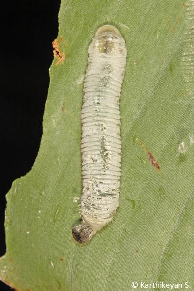 Larva of the Banana Skipper.