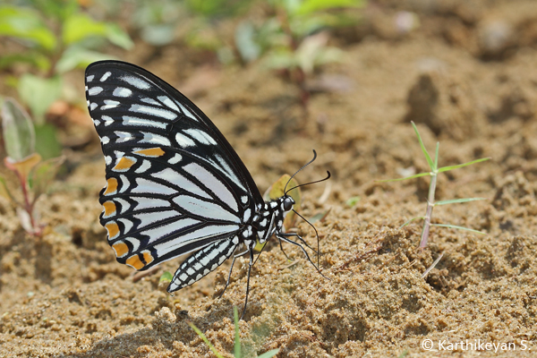 The adult Common Mime has two different forms – one that resembles a Blue Tiger butterfly ...