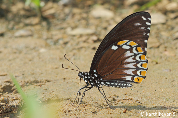 ...and the other resembling a Crow butterfly. Both the Blue Tiger and Crow are unpalatable butterflies. Mimicry in butterflies is another story altogether!